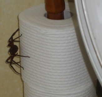 Spider on the toilet roll