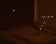 mystery lizard photo australia